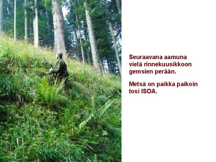 Seuraavana aamuna vielä rinnekuusikkoon gemsien perään. Metsä on paikka paikoin tosi ISOA. .