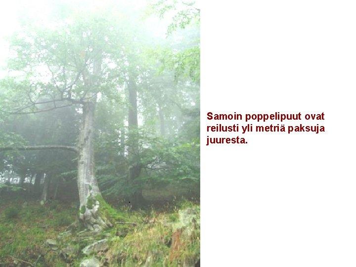 Samoin poppelipuut ovat reilusti yli metriä paksuja juuresta. .