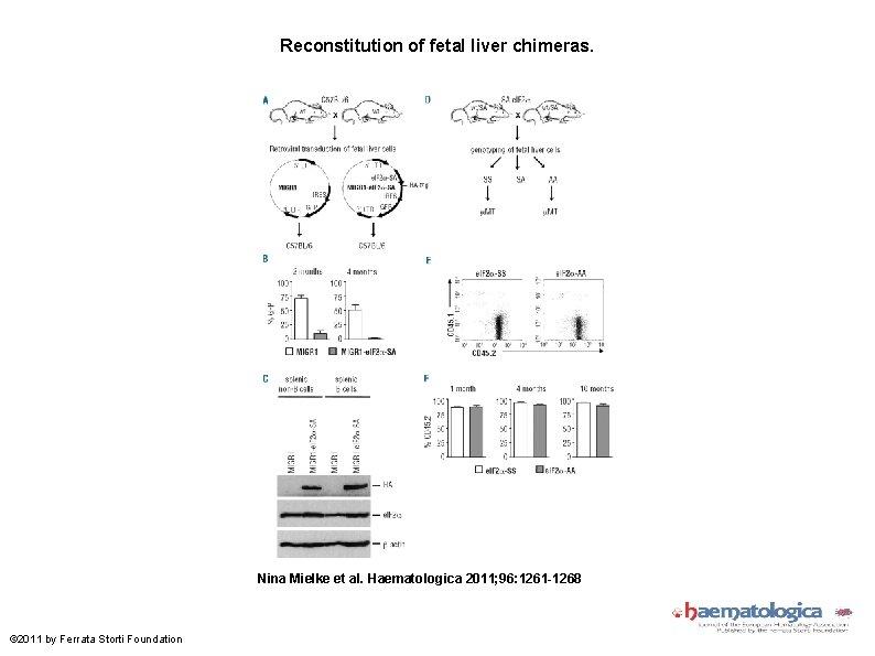 Reconstitution of fetal liver chimeras. Nina Mielke et al. Haematologica 2011; 96: 1261 -1268