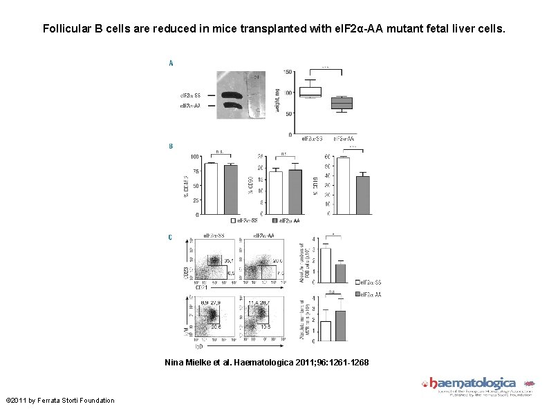 Follicular B cells are reduced in mice transplanted with e. IF 2α-AA mutant fetal