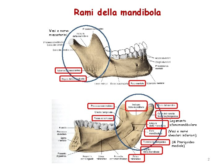 Rami della mandibola Vasi e nervo masseterini Legamento sfenomandibolare (Vasi e nervi alveolari inferiori)