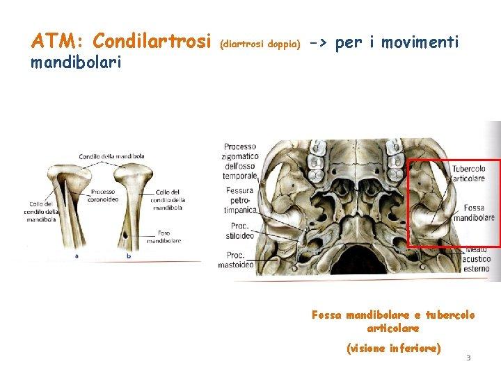 ATM: Condilartrosi mandibolari (diartrosi doppia) -> per i movimenti Fossa mandibolare e tubercolo articolare