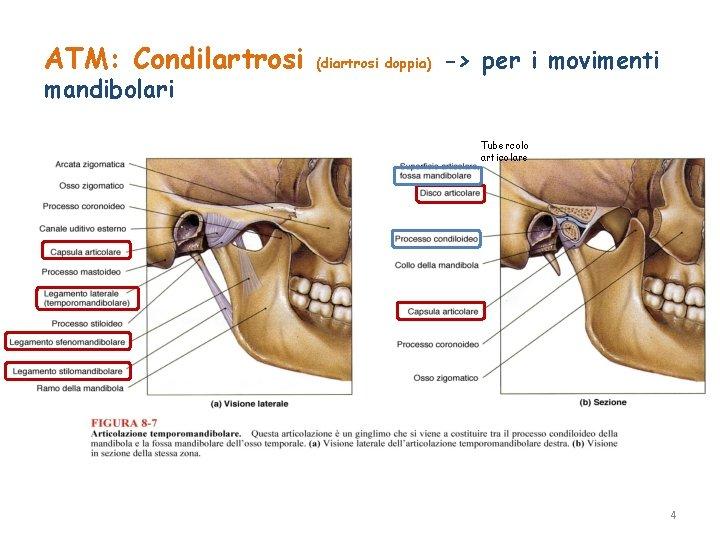 ATM: Condilartrosi mandibolari (diartrosi doppia) -> per i movimenti Tubercolo articolare 4