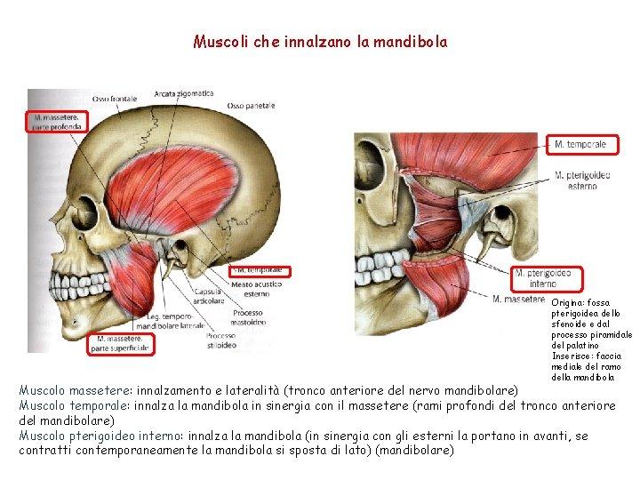 Muscoli che innalzano la mandibola Origina: fossa pterigoidea dello sfenoide e dal processo piramidale