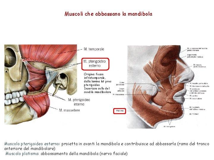 Muscoli che abbassano la mandibola Origina: fossa infratemporale, dalla lamina lat proc pterigoideo Inserisce