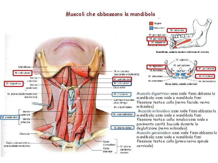 Muscoli che abbassano la mandibola Muscolo digastrico: osso ioide fisso abbassa la mandibola; osso