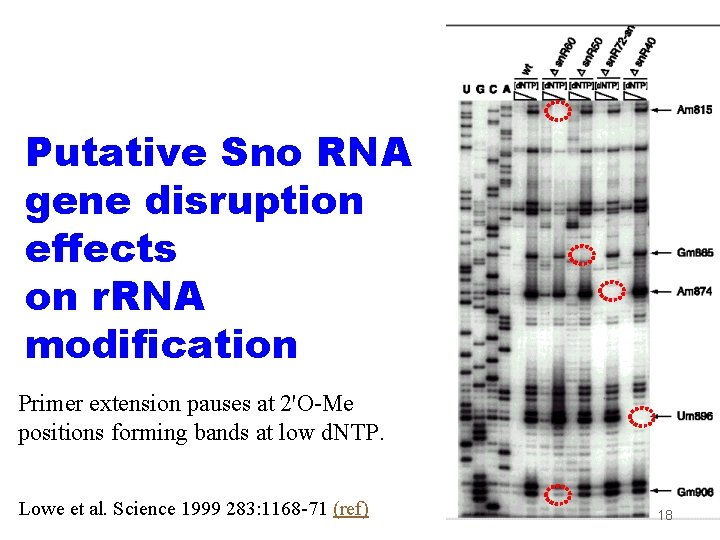Putative Sno RNA gene disruption effects on r. RNA modification Primer extension pauses at