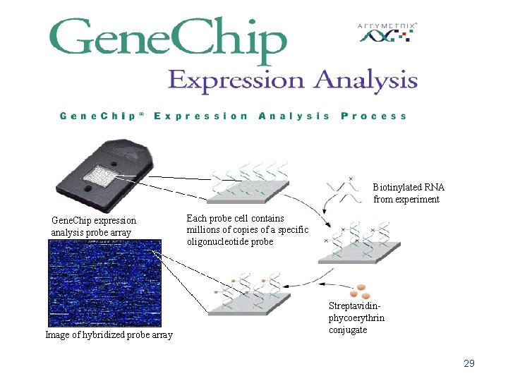Biotinylated RNA from experiment Gene. Chip expression analysis probe array Image of hybridized probe