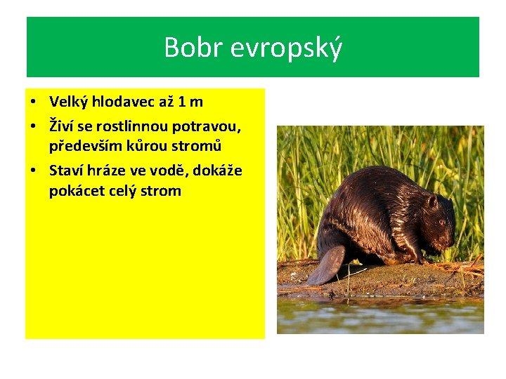 Bobr evropský • Velký hlodavec až 1 m • Živí se rostlinnou potravou, především