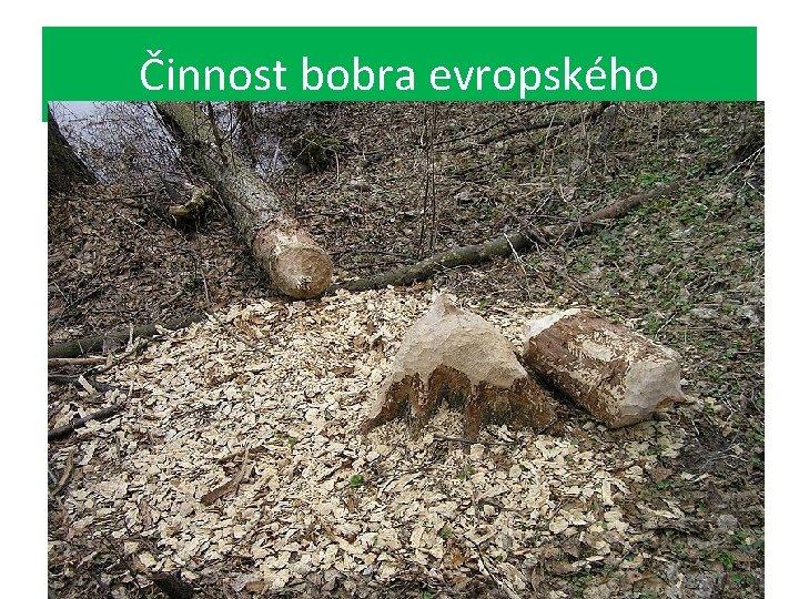 Činnost bobra evropského
