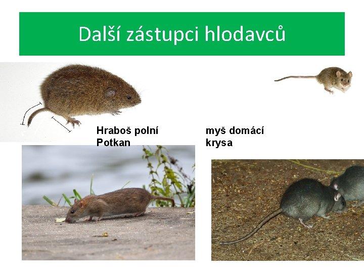 Další zástupci hlodavců Hraboš polní Potkan myš domácí krysa