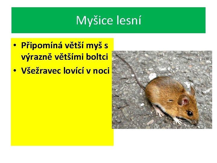 Myšice lesní • Připomíná větší myš s výrazně většími boltci • Všežravec lovící v