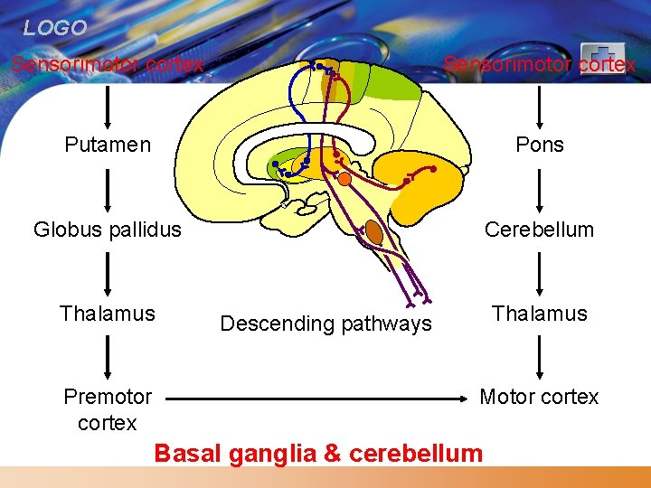 LOGO Sensorimotor cortex Putamen Pons Globus pallidus Cerebellum Thalamus Premotor cortex Thalamus Descending pathways