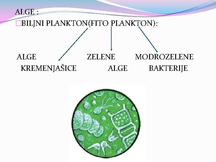 ALGE : �BILJNI PLANKTON(FITO PLANKTON): ALGE KREMENJAŠICE ZELENE MODROZELENE ALGE BAKTERIJE