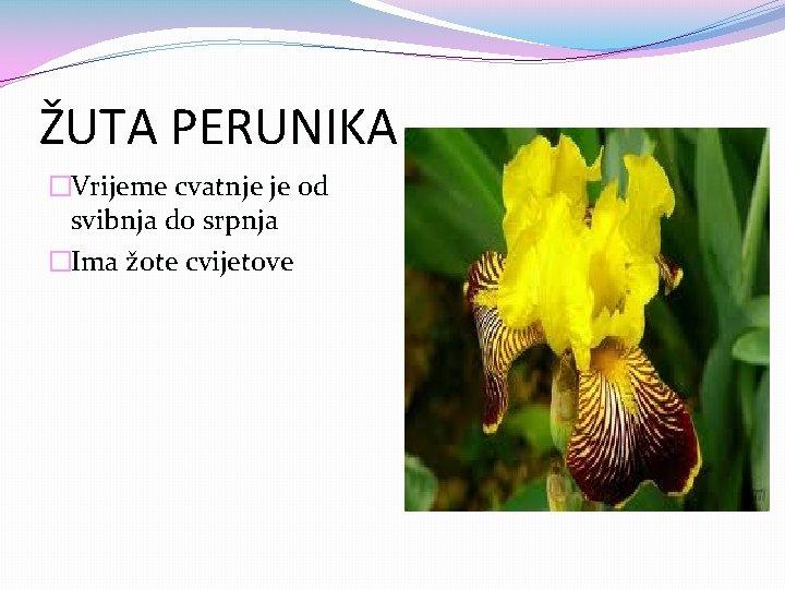 ŽUTA PERUNIKA �Vrijeme cvatnje je od svibnja do srpnja �Ima žote cvijetove