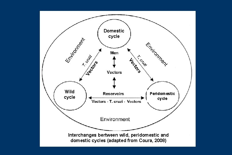 Domestic cycle Wild cycle Peridomestic cycle Interchanges bertween wild, peridomestic and domestic cycles (adapted