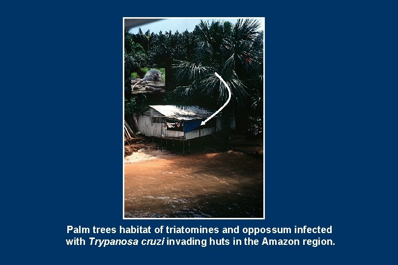 Palm trees habitat of triatomines and oppossum infected with Trypanosa cruzi invading huts in