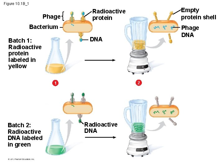 Figure 10. 1 B_1 Phage Empty protein shell Radioactive protein Bacterium DNA Batch 1: