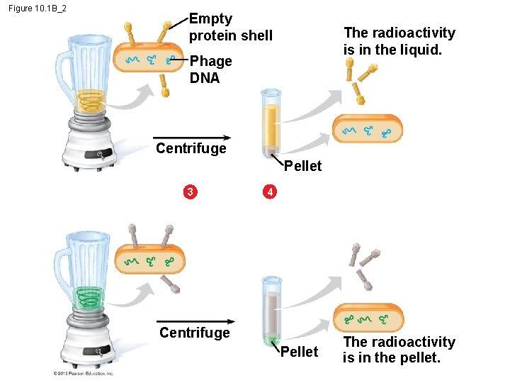 Figure 10. 1 B_2 Empty protein shell The radioactivity is in the liquid. Phage