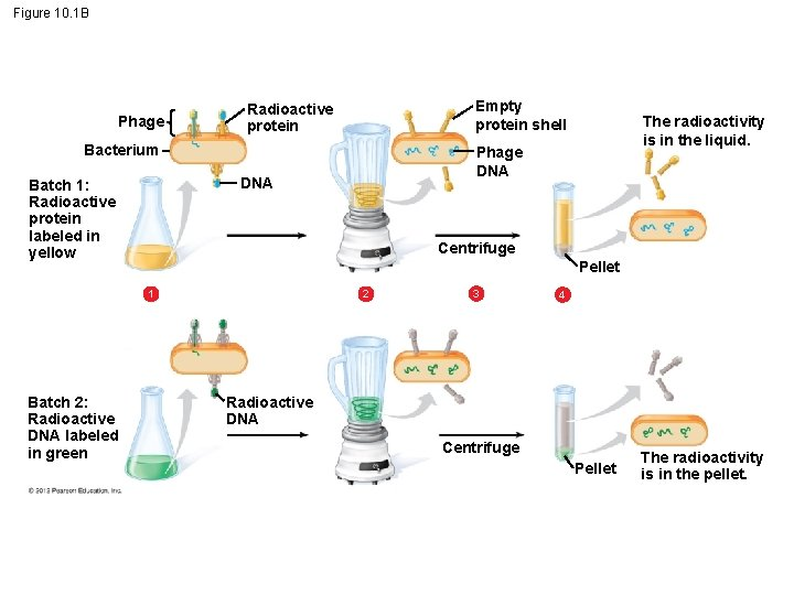 Figure 10. 1 B Phage Empty protein shell Radioactive protein Bacterium Centrifuge Pellet 1