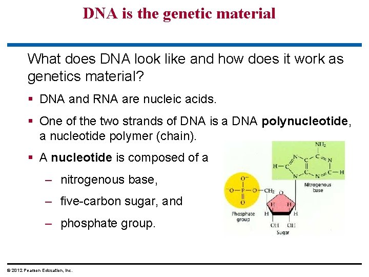DNA is the genetic material What does DNA look like and how does it