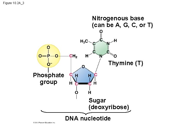 Figure 10. 2 A_3 Nitrogenous base (can be A, G, C, or T) Thymine