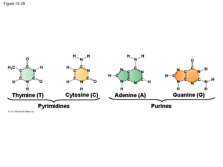 Figure 10. 2 B Thymine (T) Cytosine (C) Pyrimidines Guanine (G) Adenine (A) Purines