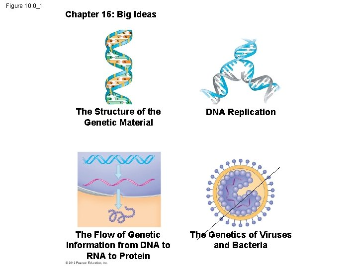 Figure 10. 0_1 Chapter 16: Big Ideas The Structure of the Genetic Material DNA