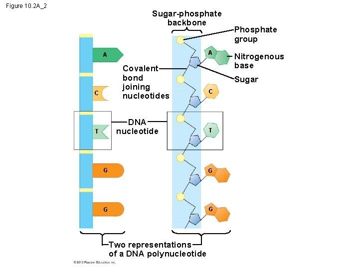 Figure 10. 2 A_2 Sugar-phosphate backbone A A Covalent bond joining nucleotides C DNA