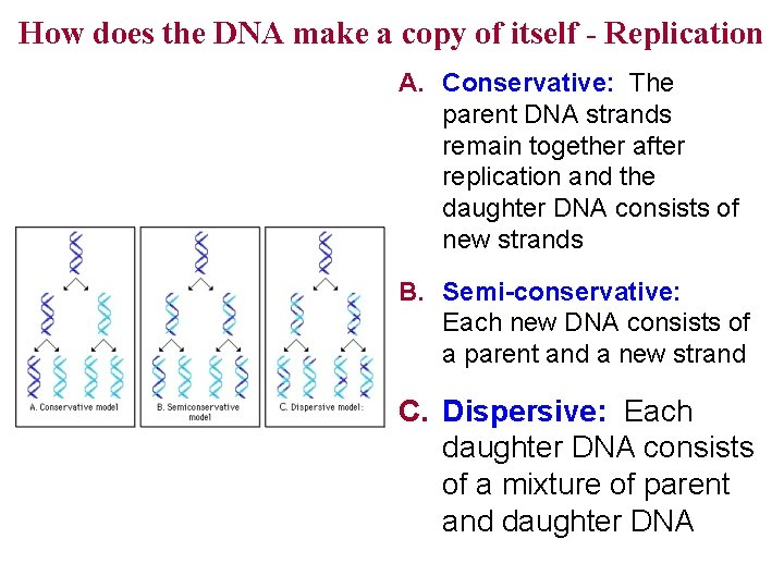How does the DNA make a copy of itself - Replication A. Conservative: The