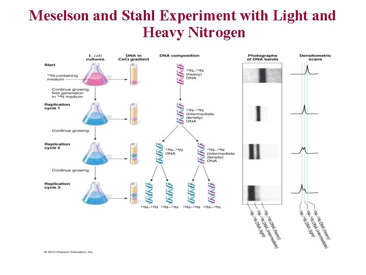 Meselson and Stahl Experiment with Light and Heavy Nitrogen