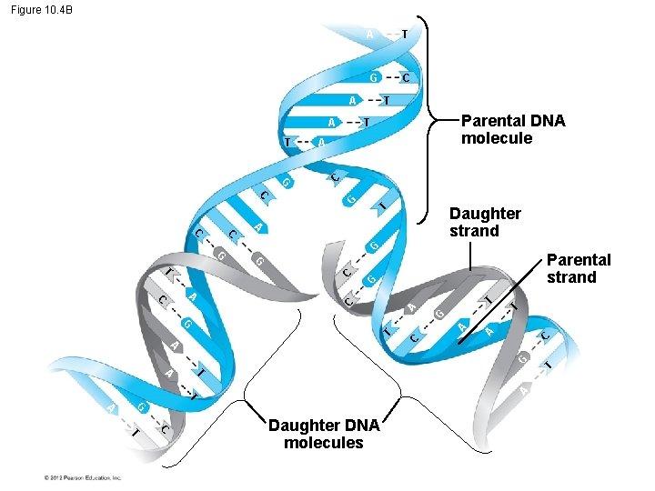 Figure 10. 4 B A T G A A T Parental DNA molecule T