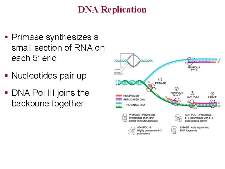 DNA Replication § Primase synthesizes a small section of RNA on each 5' end