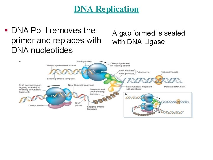 DNA Replication § DNA Pol I removes the primer and replaces with DNA nucleotides