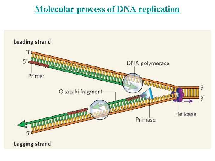 Molecular process of DNA replication