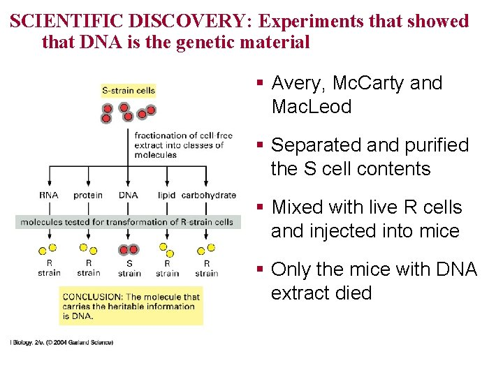 SCIENTIFIC DISCOVERY: Experiments that showed that DNA is the genetic material § Avery, Mc.