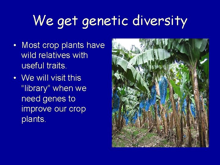 We get genetic diversity • Most crop plants have wild relatives with useful traits.