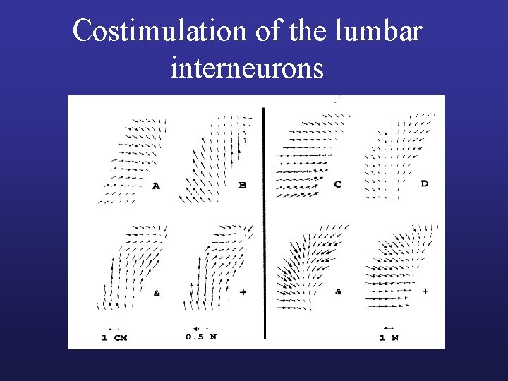 Costimulation of the lumbar interneurons