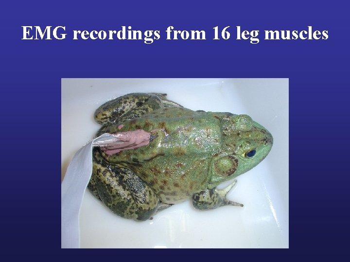 EMG recordings from 16 leg muscles