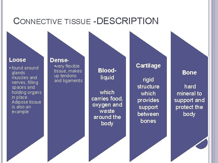 CONNECTIVE TISSUE - DESCRIPTION Loose • found around glands muscles and nerves, filling spaces