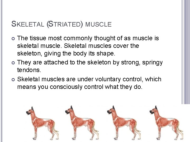 SKELETAL (STRIATED) MUSCLE The tissue most commonly thought of as muscle is skeletal muscle.