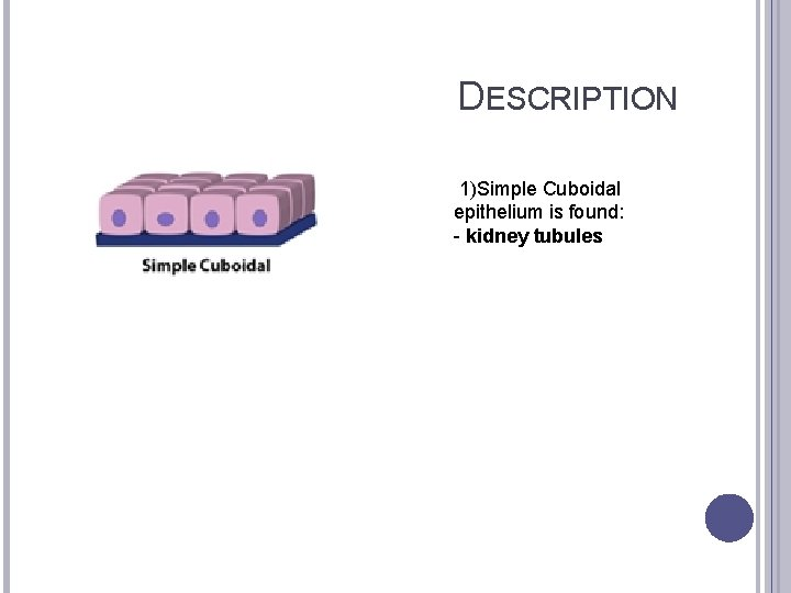 DESCRIPTION 1)Simple Cuboidal epithelium is found: - kidney tubules