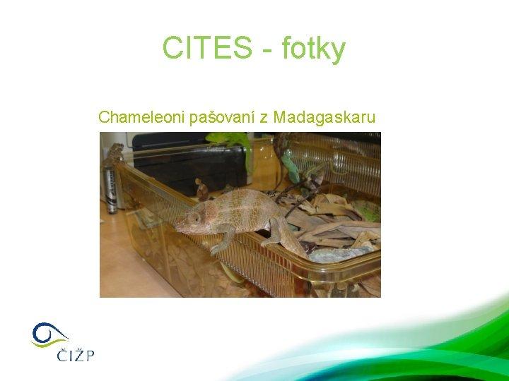CITES - fotky Chameleoni pašovaní z Madagaskaru