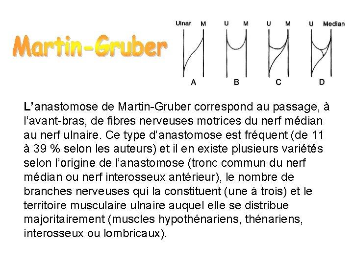 L'anastomose de Martin-Gruber correspond au passage, à l'avant-bras, de fibres nerveuses motrices du nerf