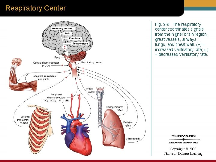 Respiratory Center Fig. 9 -9. The respiratory center coordinates signals from the higher brain