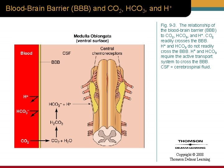 Blood-Brain Barrier (BBB) and CO 2, HCO 3, and H+ Fig. 9 -3. The