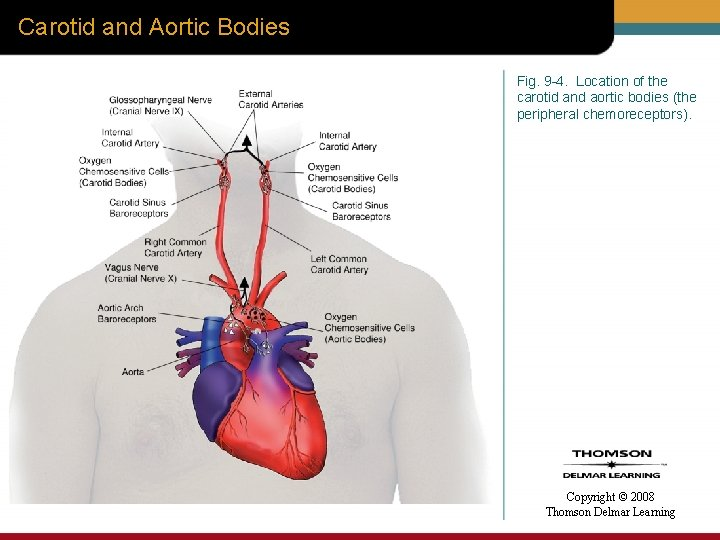Carotid and Aortic Bodies Fig. 9 -4. Location of the carotid and aortic bodies