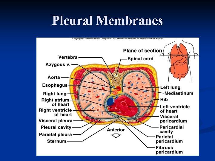 Pleural Membranes