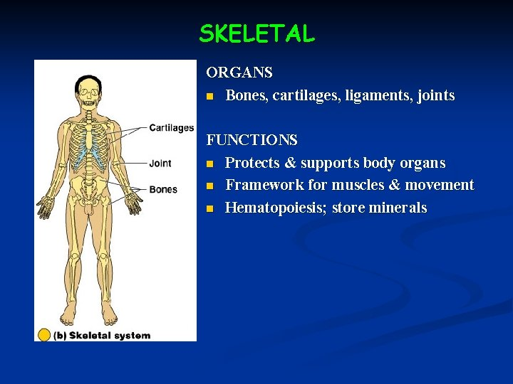 SKELETAL ORGANS n Bones, cartilages, ligaments, joints FUNCTIONS n Protects & supports body organs