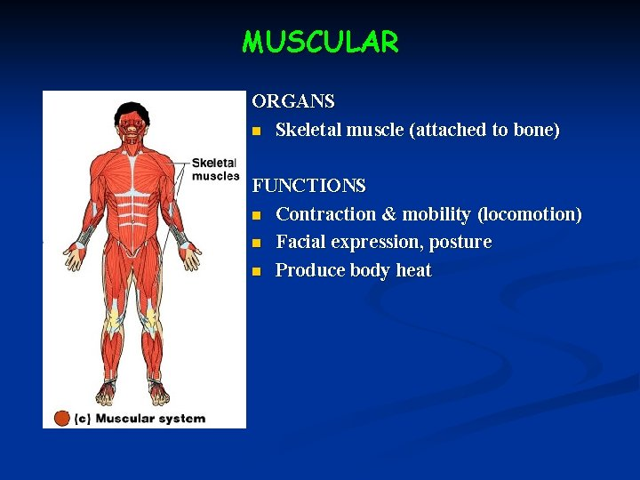MUSCULAR ORGANS n Skeletal muscle (attached to bone) FUNCTIONS n Contraction & mobility (locomotion)